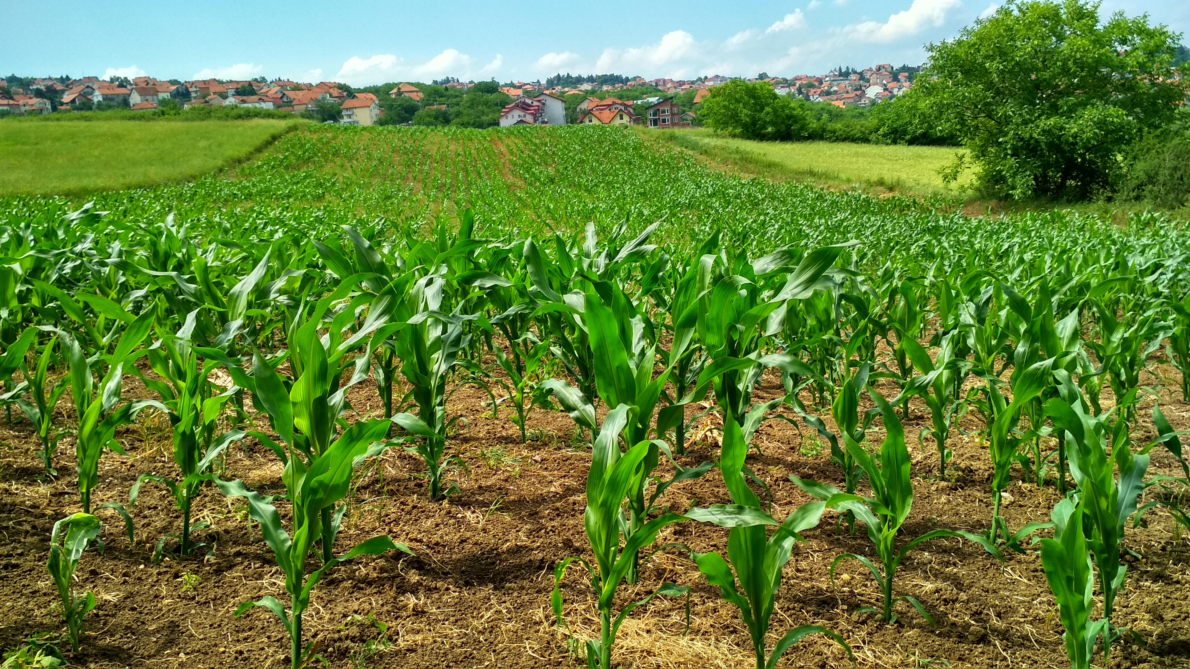corn-cornfield-crop-1112080.jpg