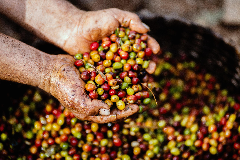close-up-coffee-bean-crops-1459339