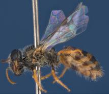 One of the new species of Australian bee, Euhesma albamala