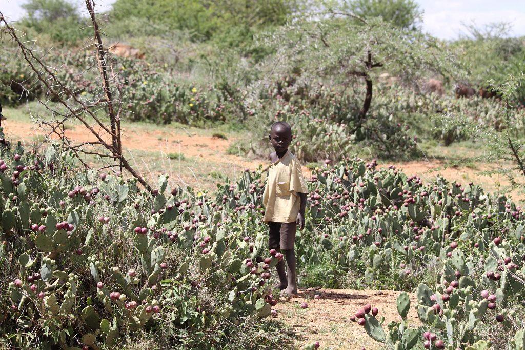 An African child stands amidst an infestation of opuntia cactus, Kenya