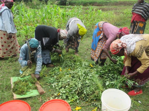 Women in a farming cooperative process their harvested crops
