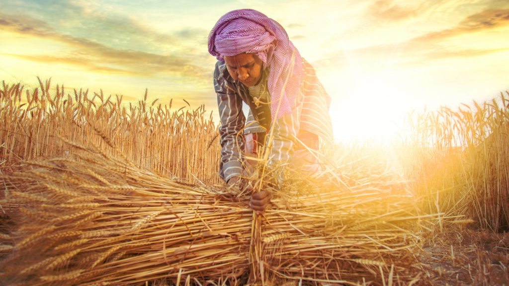 woman making bundles of wheat
