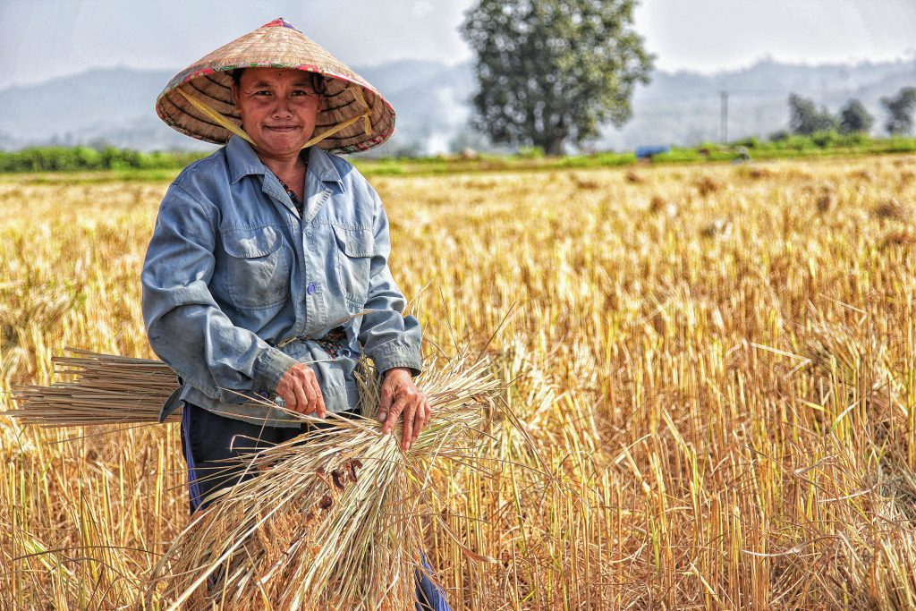 Chinese man in field bundles wheat