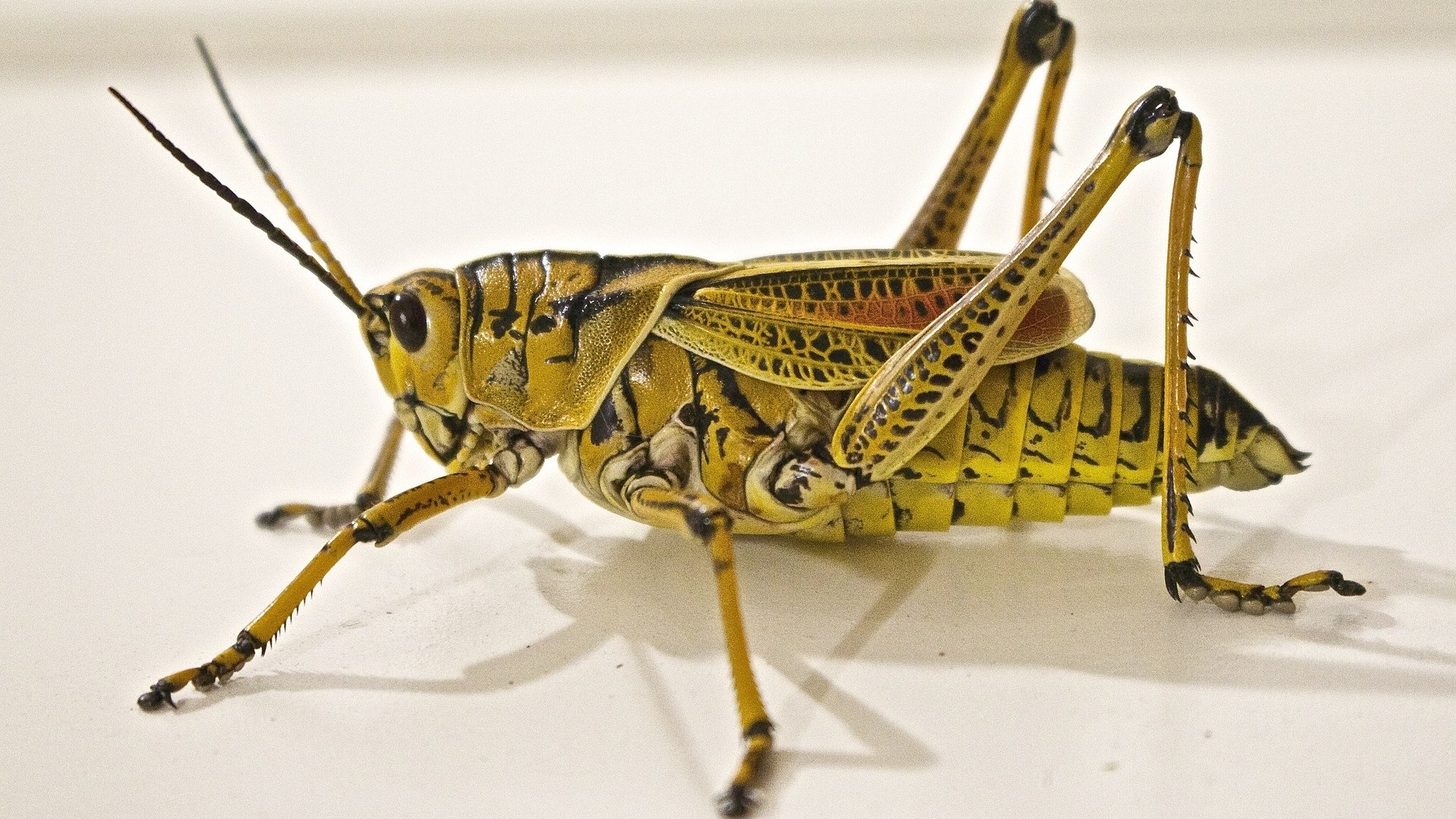 Close up of a locust on a white background
