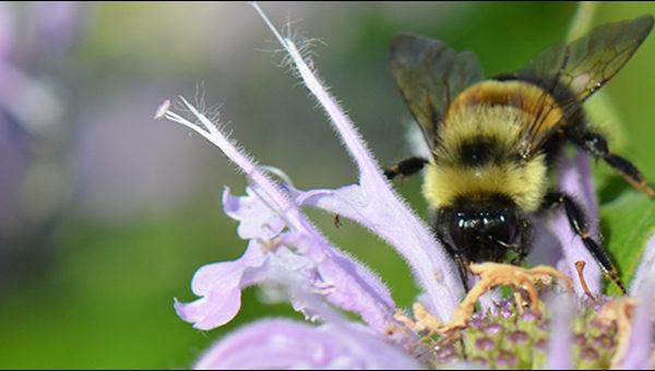 Rusty patched bumble bee feeding on wild bergamot