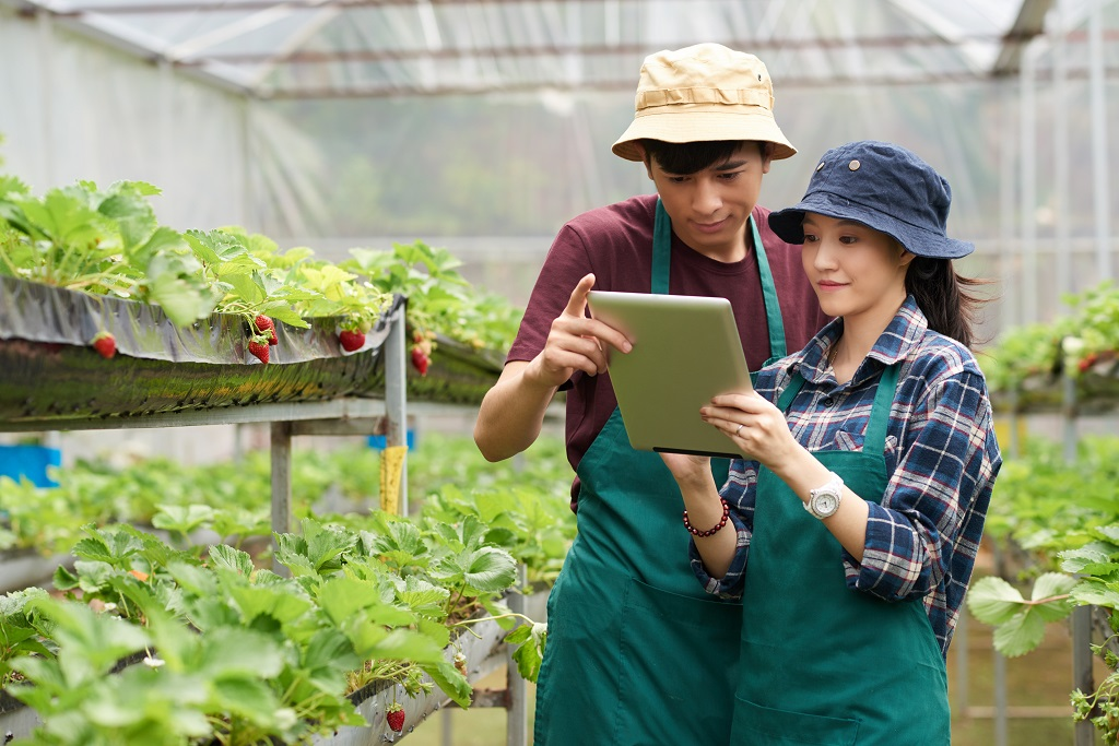 Young Asian scientists wearing aprons and bucket hats using digital tablet while checking quality of fresh ripe strawberries at spacious modern greenhouse