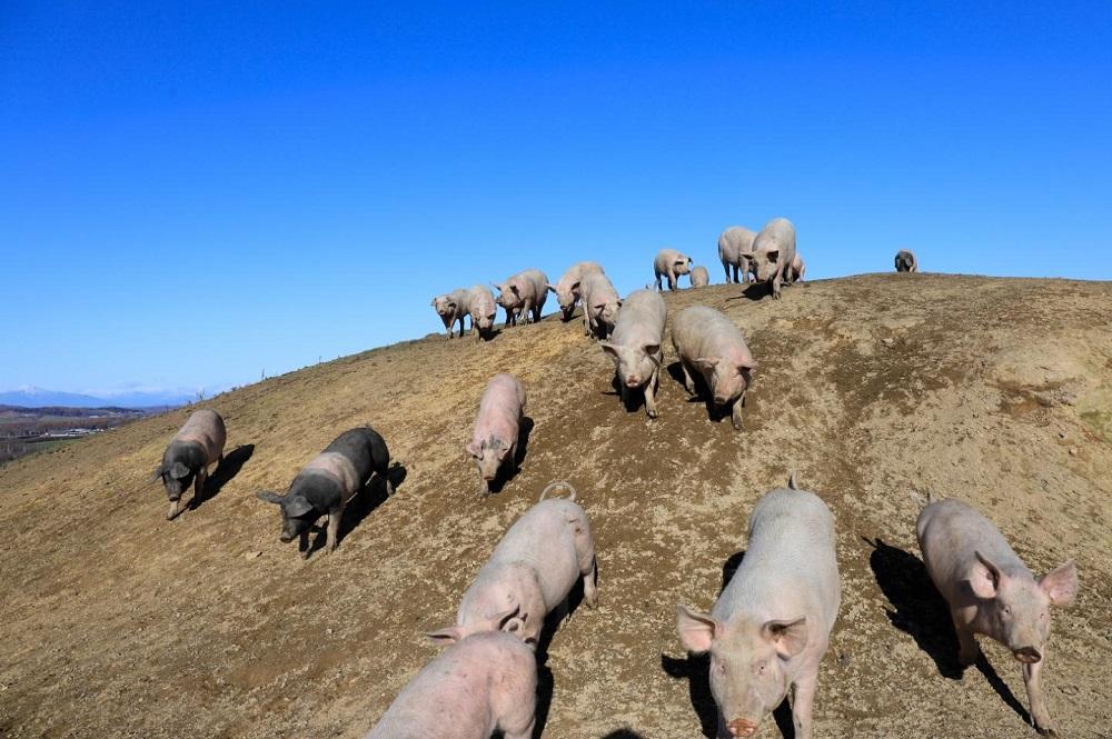 Gene editing in pigs